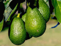avocado colombia hass colombian avocados USDA import