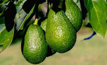 avocado colombia hass colombian avocados USDA import world avocado association