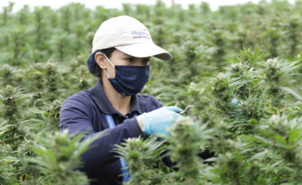 PharmaCielo horticultural worker harvests THC dominant and unique cultivar (CNW Group/PharmaCielo Ltd.)
